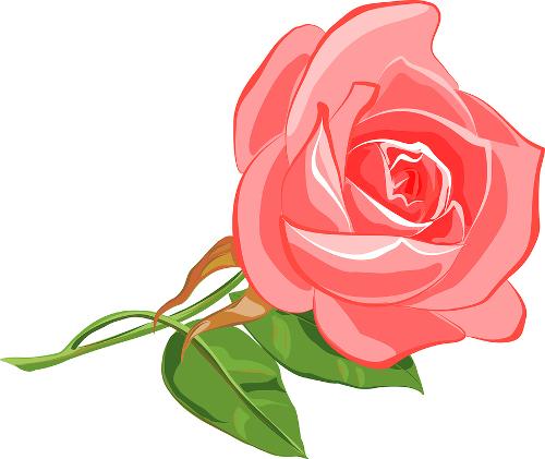 La Rosa Más Bella Del Mundo